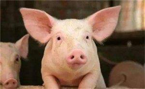 猪咳嗽、喘气老不好,找到病根是关键!