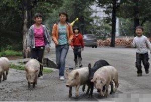 转群操作时应考虑到猪只的视角问题,帮你轻松转猪