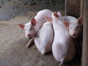 注意了!猪肉价格刚刚好转 卖猪就被猪贩子骗了