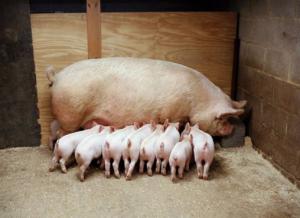 母猪产仔这三个问题最常见,解决了效益翻一番