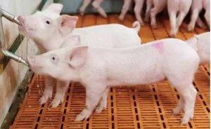 改善猪的生长环境,养好猪,少生病!增加效益!