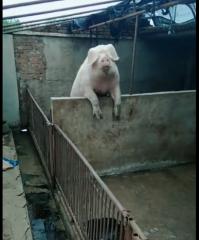 摊上这样的猪,会让人愁死的!