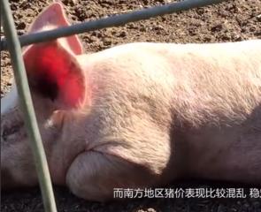 别高兴过头哦!猪价虽上涨,猪群冷应激你得注意了?