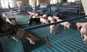 保育猪管理新技术―实现仔猪生长性能最大化!