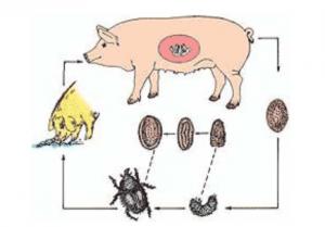养猪技术:让养猪户头痛的球虫病该如何防止?
