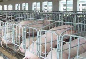 中小猪场建设存在的问题与解决方法(二)