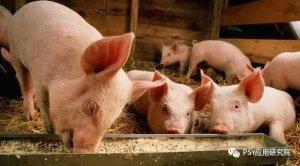 仔猪转群保育,你衔接好没有?