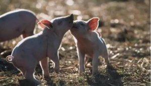 细节决定成败,仔猪到育肥猪、母猪各阶的12个管理细节!