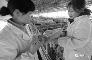 简单、高效打疫苗的方法,适用于50头母猪场
