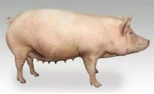 后备母猪诱情管理12点(下)