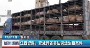 江西资溪 查处跨省非法调运生猪案件,涉案生猪105头!