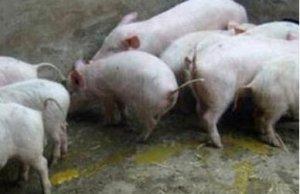猪场头号杀手―流行性腹泻诊断与综合防治