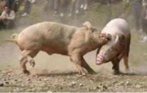 两张图告诉你仔猪咬架原因及有效防控措施,建议收藏