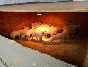 冬季养猪舍防寒,哪个方法性价比最高?