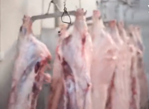 某大型生猪屠宰场现场实拍,过年不敢吃猪肉了?!