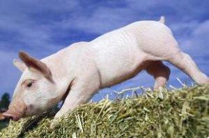 猪价显疲态,豫猛涨,非瘟防控力度加大,玉米豆粕双跌