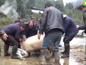 四川农村传统习俗杀年猪,藏着您不知道的丰富民俗
