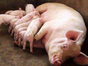 【技术】母猪产后不食原因分析与综合防治(下)