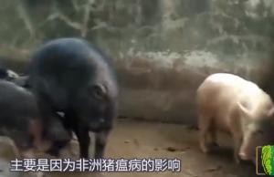 农业农村部:不得盲目禁养、开展冻肉储备,对猪价有和影响?