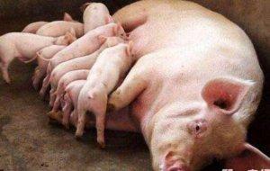 母猪产仔后如何恢复体膘?别再贸然加大喂食量,这2招能帮到你!