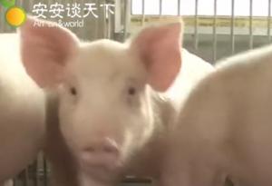 如果食用了患有非洲猪瘟的猪肉,那么会有什么症状?养猪人告诉你