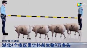 湖北省累计扑杀生猪3万头!防控非洲猪瘟,猪肉放心吃!