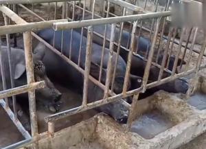 小型户养猪场这样分区有利于猪的健康,虽然简陋,但井然有序!