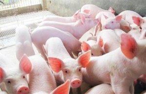 猪场饲养管理:怎么有效的给仔猪断奶?