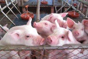 三四十斤保育猪,咳喘+消瘦+腹泻频频发生,背后真相不容忽视!