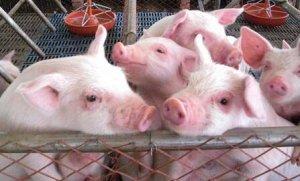 金新农:2018年出栏生猪24.13万头 同比减少35.15%