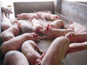 【管理】饲养育肥猪的错误饲养行