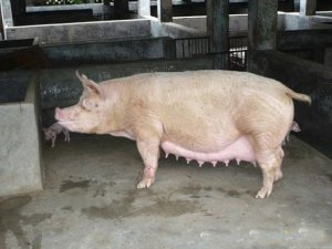 不清楚母猪不发情的原因?对症下药才是王道(下)