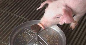 仔猪早期补料、诱食应注意哪些?