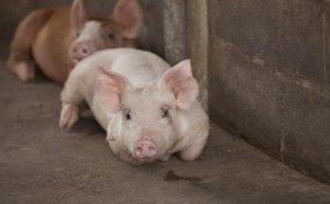 猪场头疼的一种病,副猪嗜血杆菌病的防治!真实用!