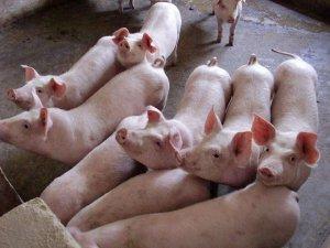 【猪场驱虫】猪的一生需要驱几次虫?