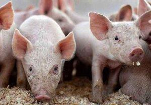 猪价续跌,产区销区双跌,看好2019下半年!