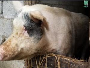 小伙这样养猪,不用成本也能喂出肥猪,猜猜多少斤?