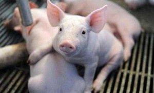 【管理】仔猪早期补料、诱食应注意哪些?养猪老手教你几招