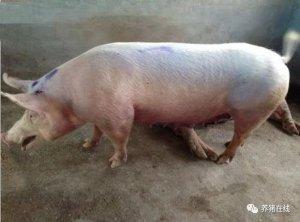 猪支原体肺炎中药有效防控方案