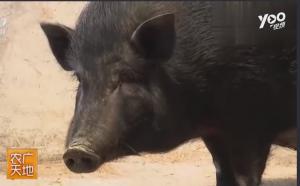 养猪小知识:专门用来烧烤的小耳猪,价格不菲