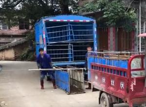 广西农户卖猪几乎都请搬运来装车!