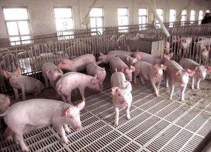 保育猪不好养,小心这两种病有可能是原凶!