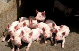 1月25日猪价:春节前猪价大局已定!