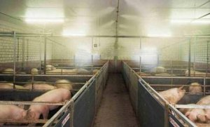 问题虽小,带来的毛病不少,猪舍潮湿的危害和解决办法