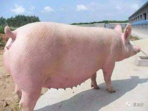 母猪发情鉴定的标准化、都能学会的操作规程