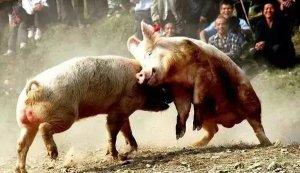 为什么有的猪群咬斗频繁,有的就很和睦呢?如何防治咬斗?