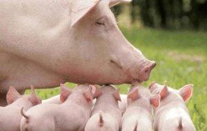 产前准备配齐,母猪产仔不慌忙