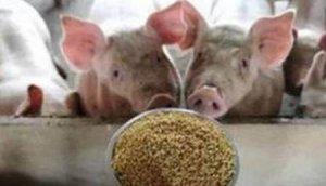 【管理】五招教你养猪用料少效率高,值得你收藏!