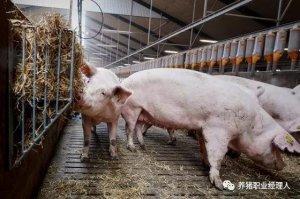 如何更好地管理好妊娠期间的母猪