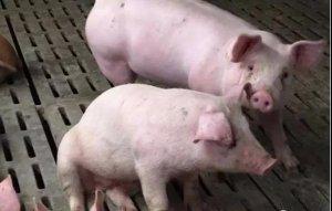 猪呼吸道病为什么难治呢?可能是你没有找到发病原因!